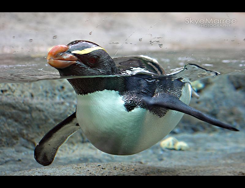Penguin by SkyeMarree