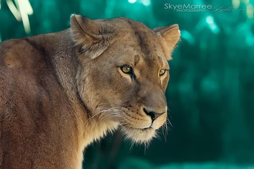 Lion_0087