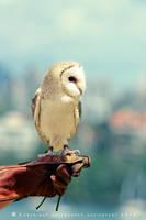 Barn Owl by SkyeMarree