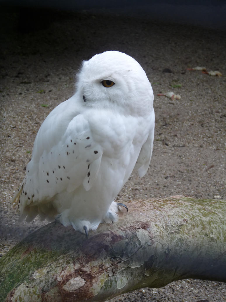 Snowi owl by Adutelluma