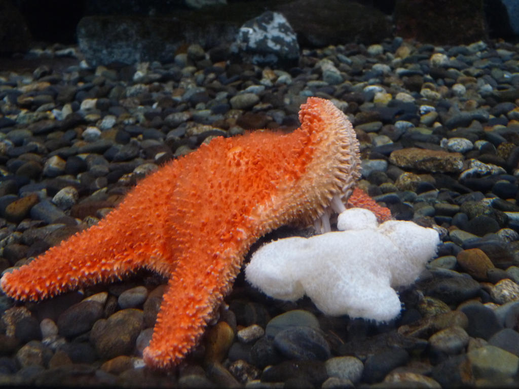 Starfish by Adutelluma