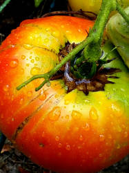 First Tomato  by Met-Kaf