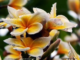 Rain Drops on Wood Flowers by SudiptaAmature