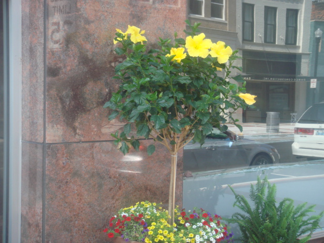 Yellow Hibiscus Tree By Autumn And Spring On Deviantart