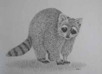 Racoon2 by fourtriangles