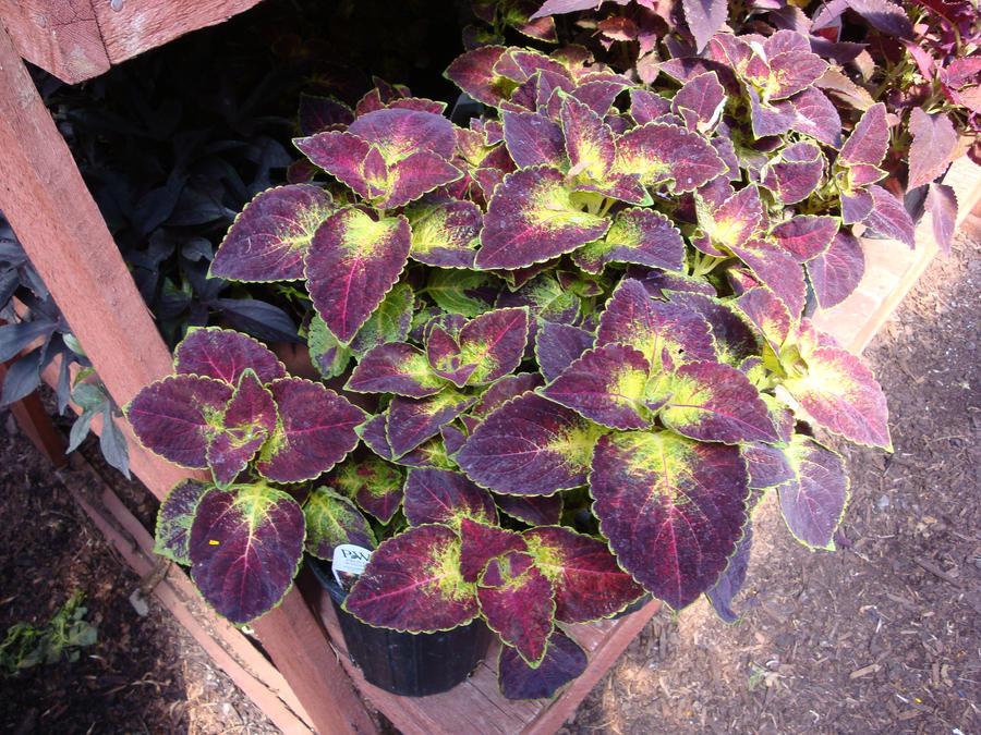 تكاثر نبات السجاد الكوليوس طَريق coleus_by_amongthefirst-d5cojjx.jpg