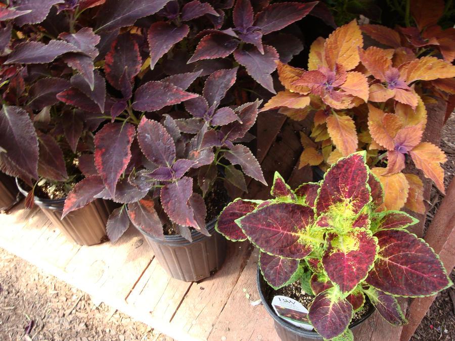 تكاثر نبات السجاد الكوليوس طَريق coleus_2_by_amongthefirst-d5dg68g.jpg