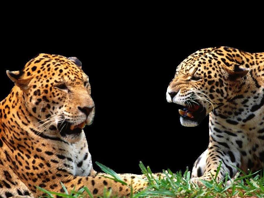 full hd wallpaper leopard