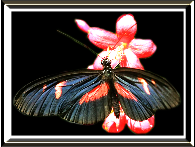 Butterfly Flower by SatinRain
