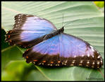 BLUE MORPHO HASHTAG WITH SPREAD WINGS