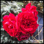 THE RED ROSE ,FLOWER OF LOVE !