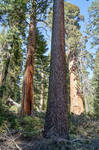 GIANT FOREST ,CALIFORNIA