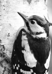 Young woodpecker close B and W by Ruleri