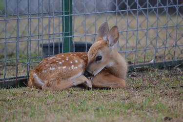 Fawn 1 by PhotographyAndGoats