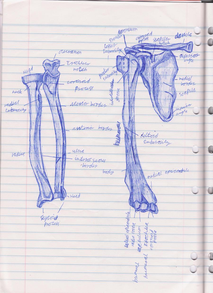 Arm bone diagram by bd798 on DeviantArt