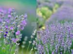 Dear Lavender, by Zelma1