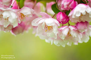 Scent of Spring by Zelma1
