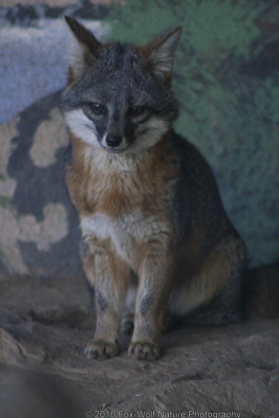 Island Fox 002 by FoxWolfPhoto