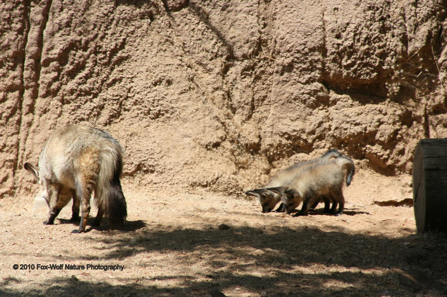 Bat-eared Fox 001 by FoxWolfPhoto