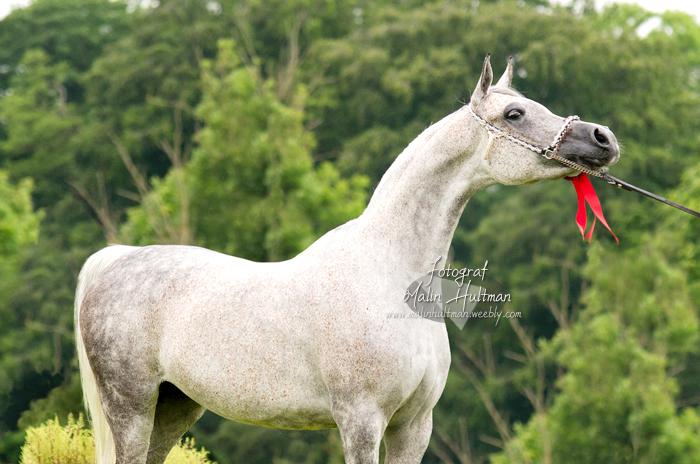 Arabian Horse by Pebels