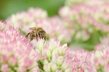 Honeybee by Pebels