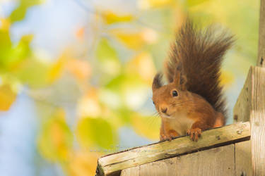 Squirrel sitting in the tree.. by Pebels