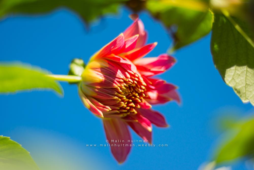 Pink flower by Pebels