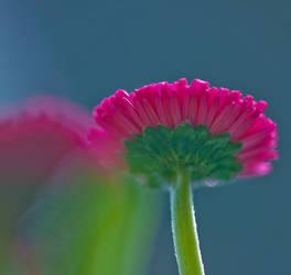 daisy by pho2s4me