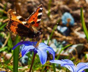 butterly on scilla by pho2s4me