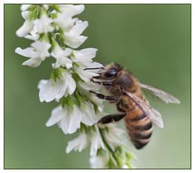 Honeybee by pho2s4me