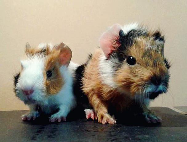 my 3 day old guinea pigs by XxsilvixX
