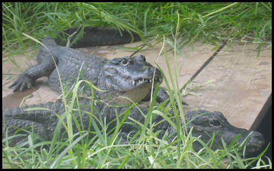 American Crocodiles by TheGrandAdmiral
