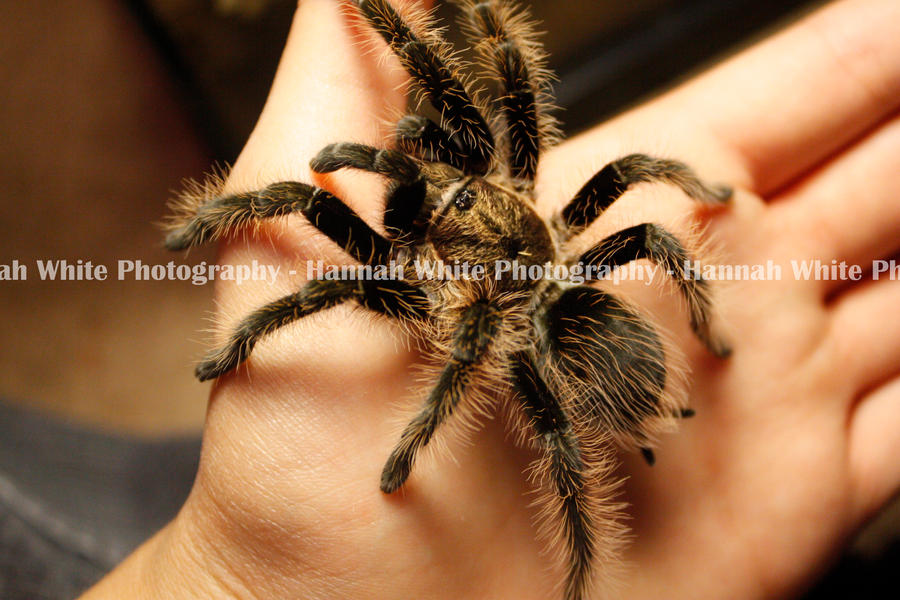 Tarantula by hwphotography