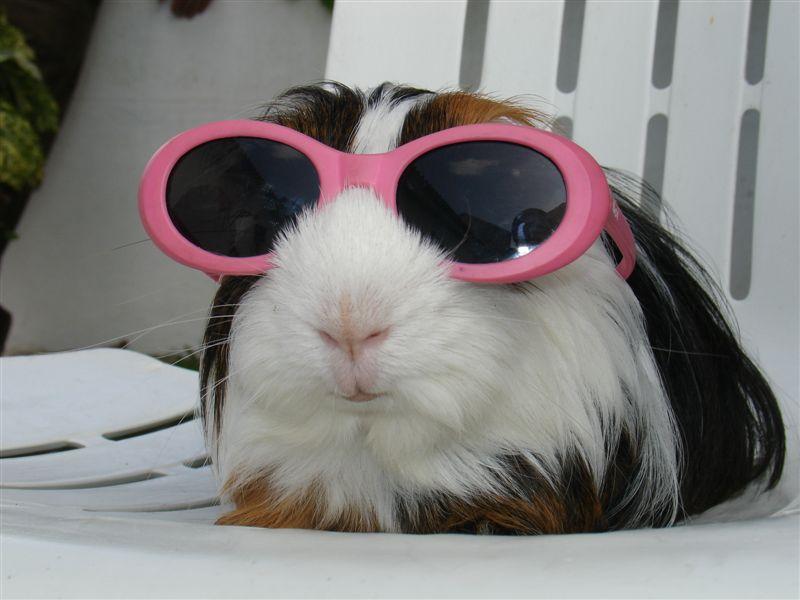 My guinea pig sunbathing by Solofanchan