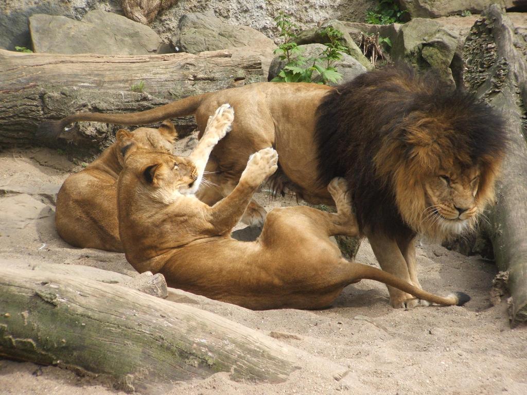 Playfull Lions by SSJGarfield