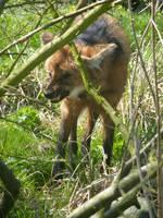 Blijdorp: Maned Wolf by SSJGarfield