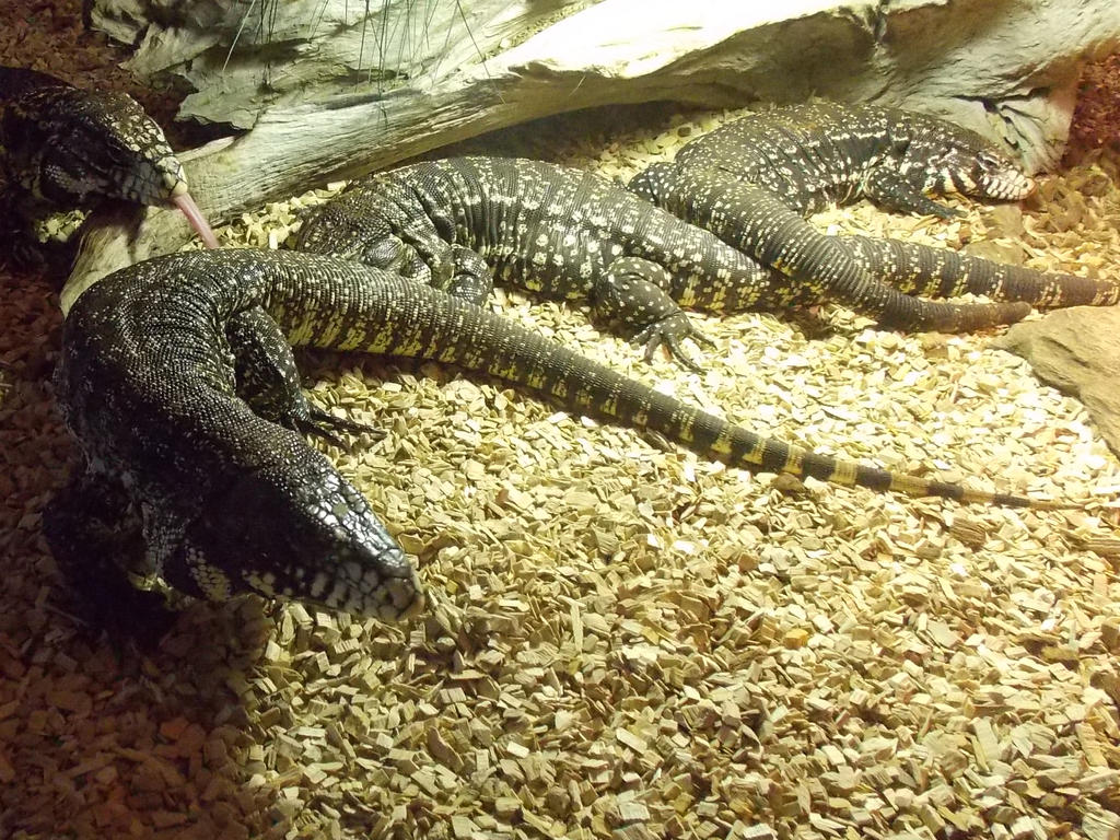 Argentine Black and White Tegu by SSJGarfield
