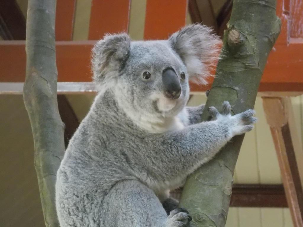 Zoo Antwerp - Koala by SSJGarfield