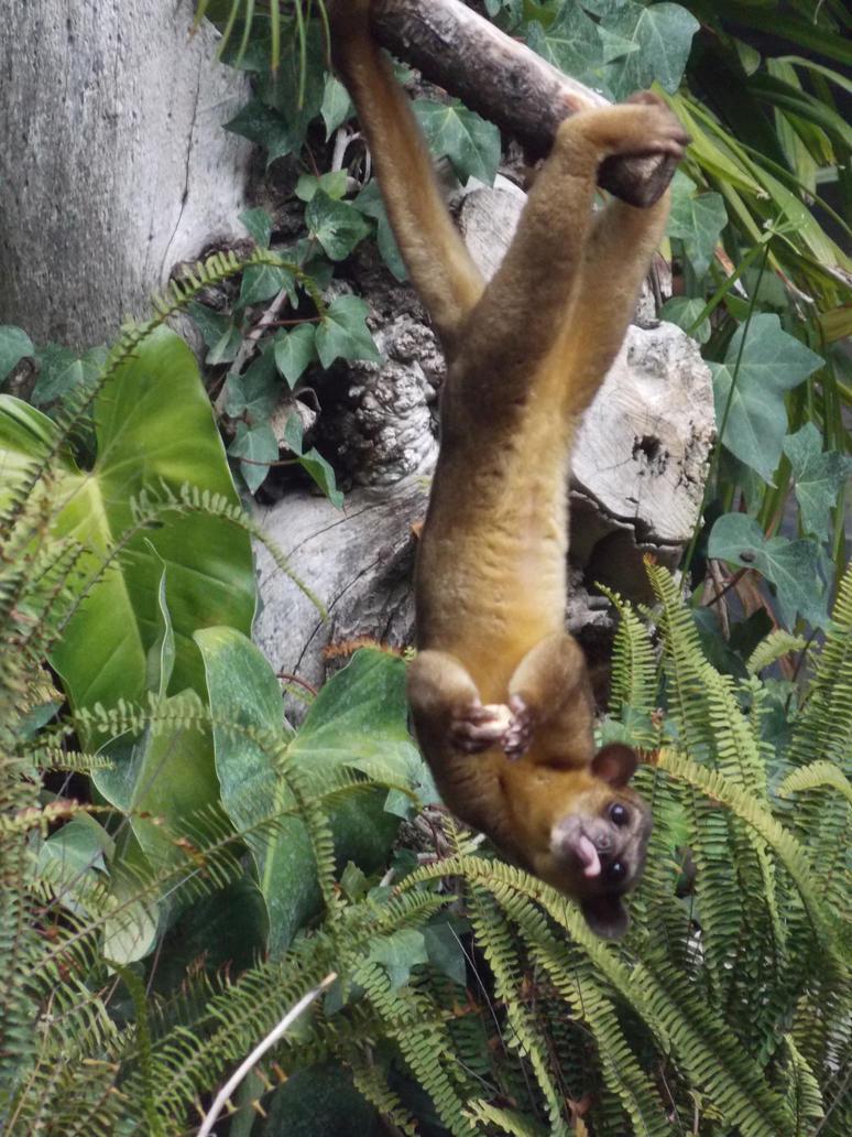 Bioparc Fuengirola - Silly Kinkajou by SSJGarfield