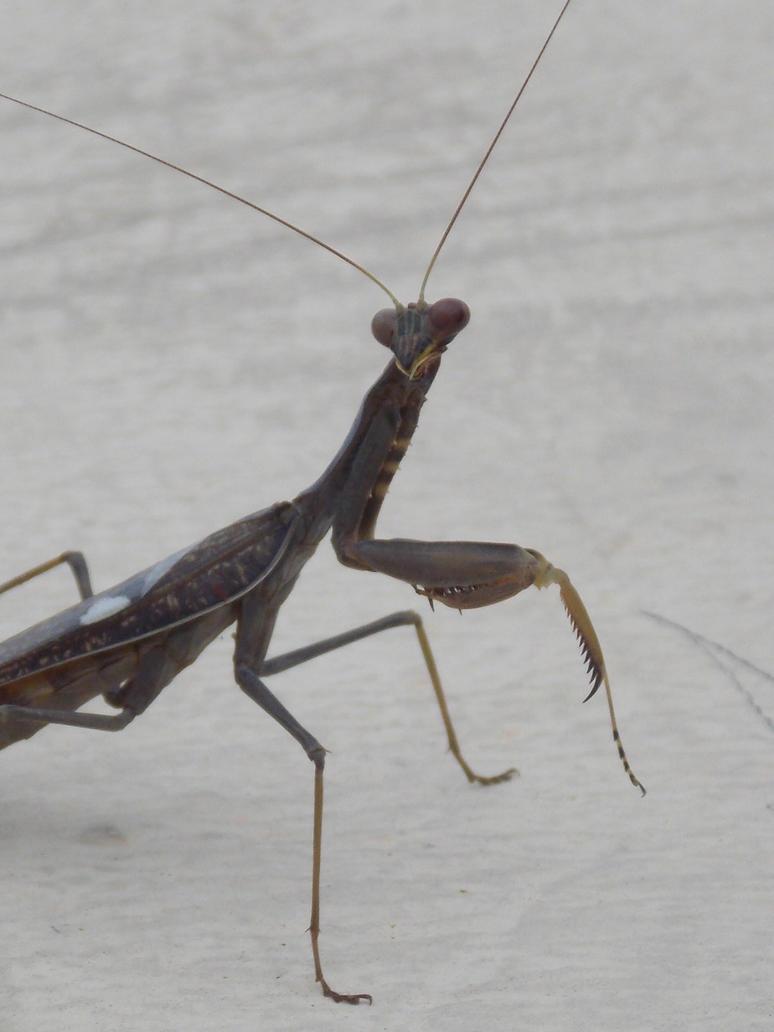 Praying mantis by SSJGarfield