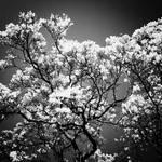 Dark Sakura by Chinacomplex