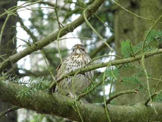 Bird on a pine tree