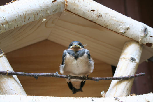 Little Swallow in her new nest