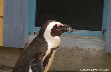 Penguin Portrait by brunettephotographer