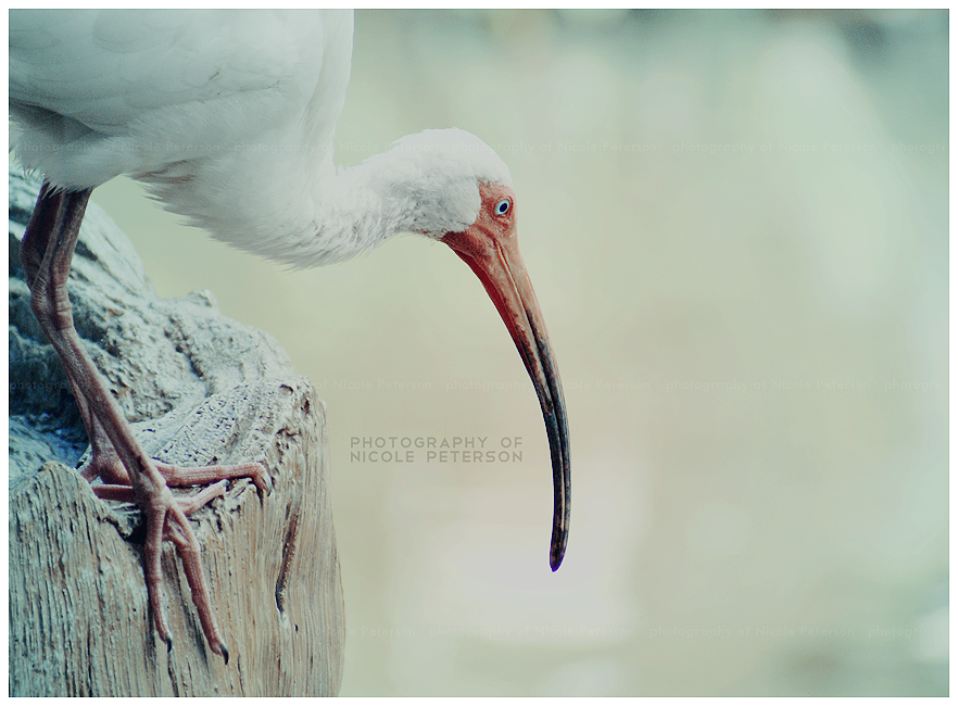 Day 25 - White Ibis by MonsterBrand