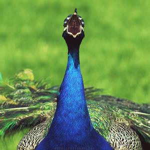 Demon Peacock