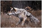 Day 149 - Bad Wolf?