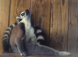Lemur Yoga by MonsterBrand
