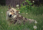 Mexican Gray Wolf by MonsterBrand