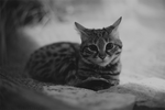 Black-footed Cat by MonsterBrand